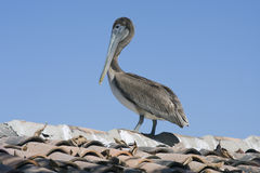 Brown pelican. Brown pelican surveying the world from a roof top Stock Photos