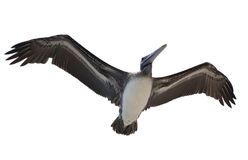Free Brown Pelican Royalty Free Stock Images - 67622069