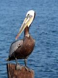 Brown Pelican Royalty Free Stock Photos