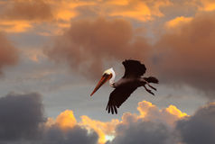 Brown Pelican Against Stormy Sunset Sky Stock Images