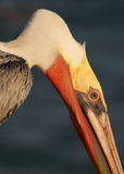 Brown Pelican Akward Angle. A Brown Pelican, in breeding plumage, with its neck at an akward angle as it feeds along the Pacific Ocean in California Royalty Free Stock Image