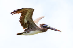 Brown Pelican Bird In Flight Royalty Free Stock Photography