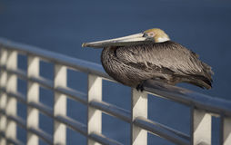 Brown Pelican bird. Sat on rail with blue sea in background Stock Photo