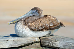 Brown pelican bird Royalty Free Stock Images