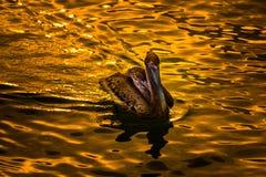 Brown Pelican Bird at Sunset Stock Photos