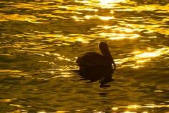 Brown Pelican Bird at Sunset Stock Photo