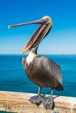 Brown Pelican Royalty Free Stock Image