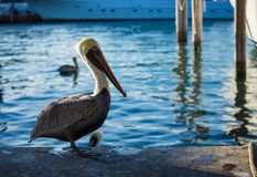 Brown Pelican. Blue Water on a Background stock photography