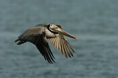 Brown Pelican - Breeding adult Royalty Free Stock Images