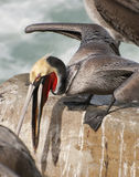 Brown Pelican in Breeding Plumage Royalty Free Stock Image