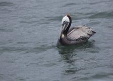 Brown Pelican in California Stock Images