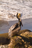 Brown Pelican on California Beach Royalty Free Stock Photos