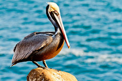 Brown Pelican Stock Photography