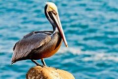 Brown Pelican. California Brown Pelican image taken during mating season in La Jolla, California stock photography