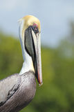 Brown Pelican - Cape Coral, Florida. Portrait of adult Brown Pelican (Pelecanus occidentalis) in breeding plumage - Cape Coral, Florida stock image