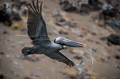 Brown Pelican. This brown pelican is carrying twigs for a nest royalty free stock photo