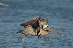 Brown Pelican - Chick feeding adult royalty free stock photo