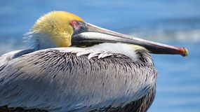 Brown Pelican Close-Up - Atlantic Coast. A close-up view of the brown pelican in a resting position where the long neck is tucked down inside the body. The brown stock photos