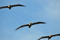 Brown Pelican Royalty Free Stock Photo