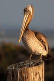Brown Pelican. A closeup of a brown pelican just before sundown at a port along the Washington Coast Stock Photo