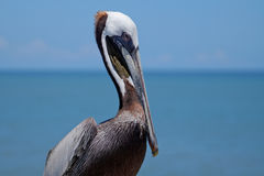 Brown pelican closeup with sea in background blurred Royalty Free Stock Image