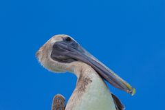 Brown pelican. Closeup view of brown pelican against bright blue sky Royalty Free Stock Photo