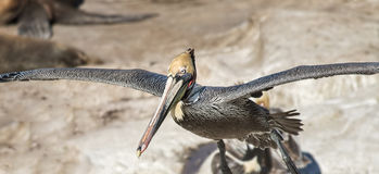 Brown Pelican Landing, La Jolla, California Royalty Free Stock Images