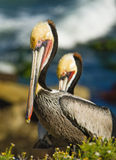 Brown Pelicans, La Jolla, California. Brown pelican in colorful feathers of winter breeding plumage on the cliffs of the tourist destination of La Jolla Cove, in royalty free stock photography