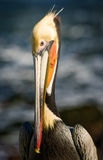 Pelican, La Jolla,  California Royalty Free Stock Images