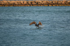 Brown Pelican Coming in for a Water Landing Stock Image