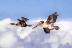Brown pelican and cormorant flying; white clouds and blue sky ba royalty free stock photos