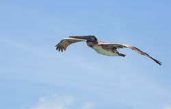 Brown Pelican in Cruise Mode Royalty Free Stock Photography