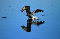 Brown Pelican Diving for Fish. A Brown Pelican dives for fish in the wetlands of Huntington Beach, California, USA Stock Images