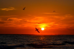 Free Brown Pelican Diving For Fish At Sunset. Stock Images - 87906654