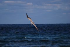 Brown Pelican diving off the shore Stock Images