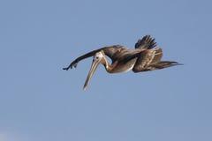 Brown Pelican Diving royalty free stock images
