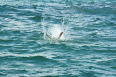 Brown pelican diving in a splash on Florida's east coast. Royalty Free Stock Photography