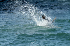 Brown pelican diving in a splash on Florida`s east coast. Stock Image
