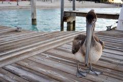Brown Pelican on Dock Stock Photo