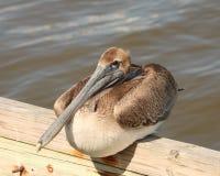 Brown Pelican on dock Stock Photos