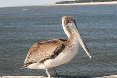 Brown Pelican. On a dock in the Mississippi Sound near Biloxi, Mississippi Royalty Free Stock Photos
