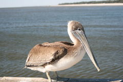 Brown Pelican. On a dock in the Mississippi Sound, near Biloxi, Mississippi Royalty Free Stock Photos