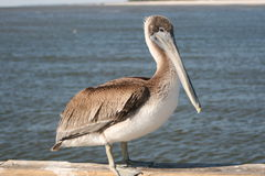 Brown Pelican. On a dock in the Mississippi Sound near Biloxi, Mississippi Stock Photo