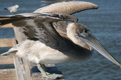 Brown Pelican. On a dock in the Mississippi Sound near Biloxi, Mississippi Royalty Free Stock Images