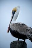 Brown Pelican on Dock Post Stock Image