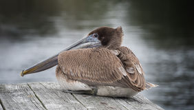 Brown Pelican on Dock Royalty Free Stock Photos