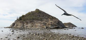 A Brown Pelican Does a Flyby of a Cactus Covered Desert Island. A Brown Pelican Does a Flyby of a Cactus Covered Rocky Desert Island Stock Image