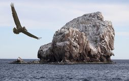 A Brown Pelican Does a Flyby of a Guano Covered Desert Island. A Brown Pelican Does a Flyby of a Guano Covered Rocky Desert Island Stock Images
