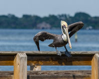 A BROWN PELICAN DOING ITS MORNING YOGA Royalty Free Stock Images