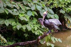Brown pelican drying his wings stock photos